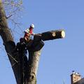 Kivágják a veszélyes fákat a bicskei Prohászka Ottokár utcában!