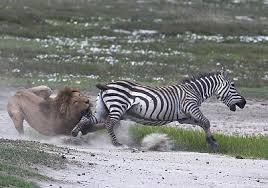 """Képtalálat a következőre: """"oroszlán zebra csorda"""""""