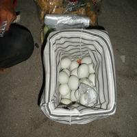 Csirkét tojik a nyúl