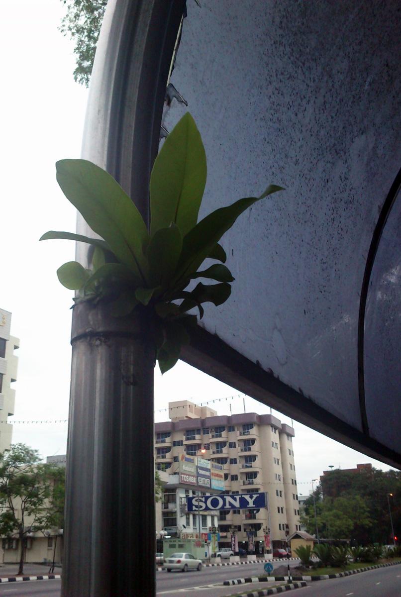 Összehasonlításképp az előző képhez betettem egy fotót, ami még Bruneiban készült. Kiburjánzott a buszmegálló oszlopa.
