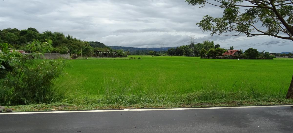 Zöldellő rizsföld.