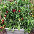 Paprikát és csilipaprikát nem csak télikertben termeszthetünk