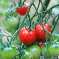 Miért érdemes sok paradicsomot fogyasztani?