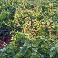 Melyik híres borászat legendás szőlője?