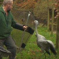 Rohamrendőrpajzsokkal védekeznek a darvak ellen egy brit állatkertben