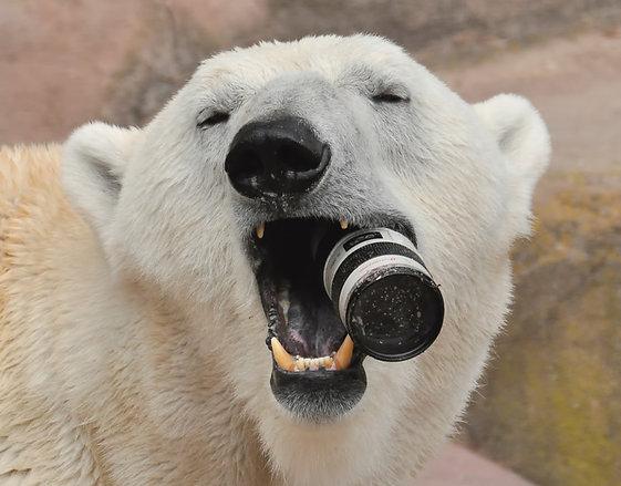polar-bear_2373506k.jpg