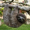6 interesting things about sloths / 6 érdekesség a lajhárokról