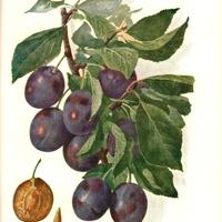 A gyümölcsnevek eredete - Szókavalkád