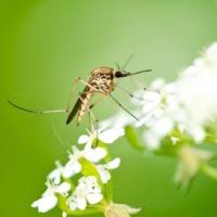 A szúnyogról nyelvész szemmel