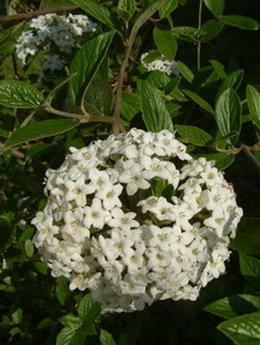 Viburnum  burkwoodii1.jpg
