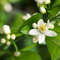 Narancsvirágvíz a hiperaktivitás kezelésében és a szépségápolásban