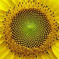 Virágzik a napraforgó, olaját érleli a nap