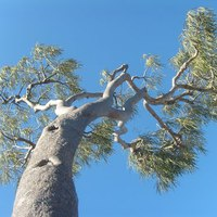 Palo Santo, a Szent Fa illata