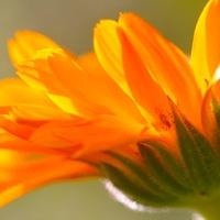 Körömvirág, a napsárga csoda