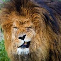 Amikor morcos oroszlánnak érzed magad...