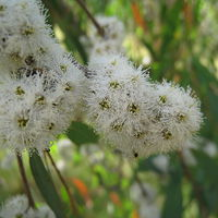 Eukaliptusz erdők illata