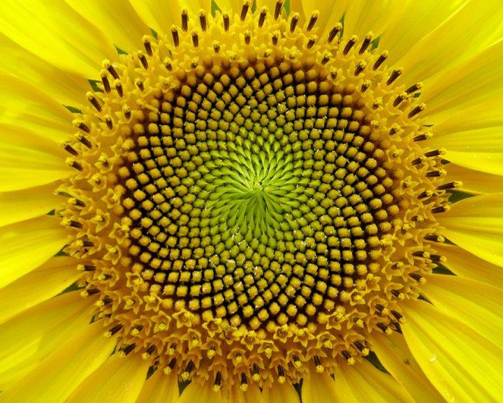 napraforgo-fibonacci.jpg
