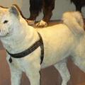 Hachikó, Japán leghíresebb kutyája
