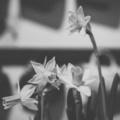 Fekete-Fehér Február 28/28: Kinyílott a nárcisz