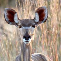 Impalaroppantó limerick