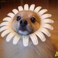 Kutyavirág