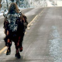 Eközben a Yellowstone Parkban...