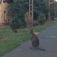 A nap legbizarrabb híre: megszökött egy kenguru Orosházán