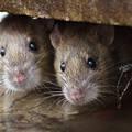 Az álmennyezetből hamis patkányok esnek a világszínvonalú magyar egészségügyre