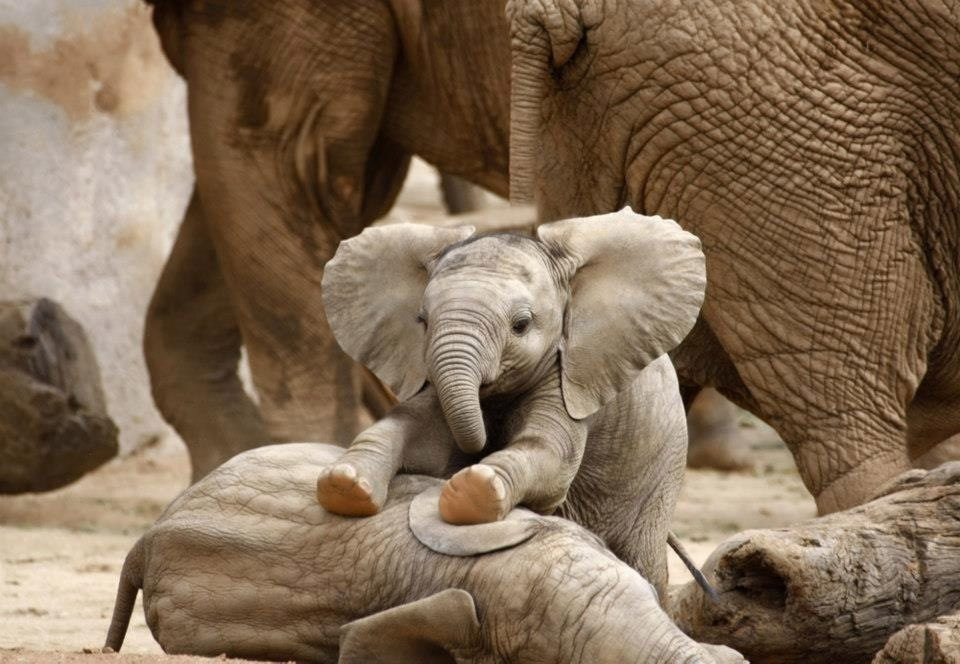 baby-elephant-massaging-his-brother.jpg