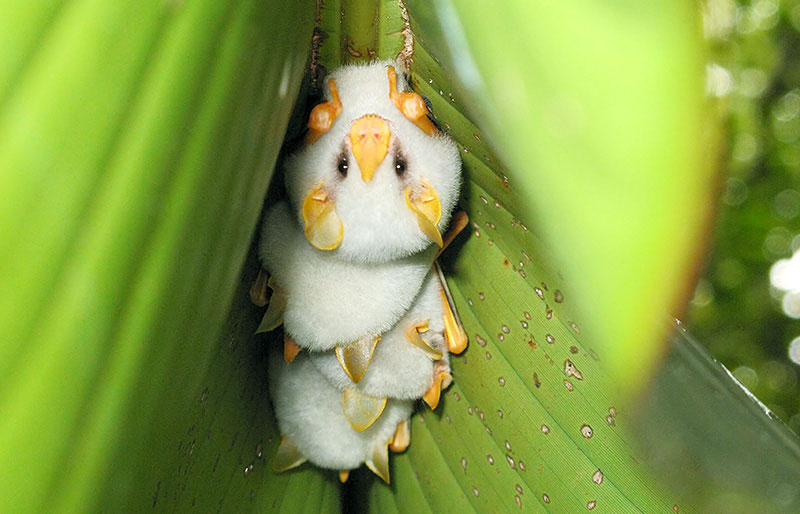 honduran-white-bat.jpg