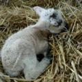 Ma született bárány