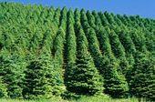 Fenyőfa ültetvény