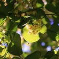 citrom marmalade hársvirággal