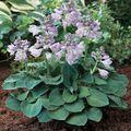 Tündérkertek növényei - Hosta 'Blue mouse ears'