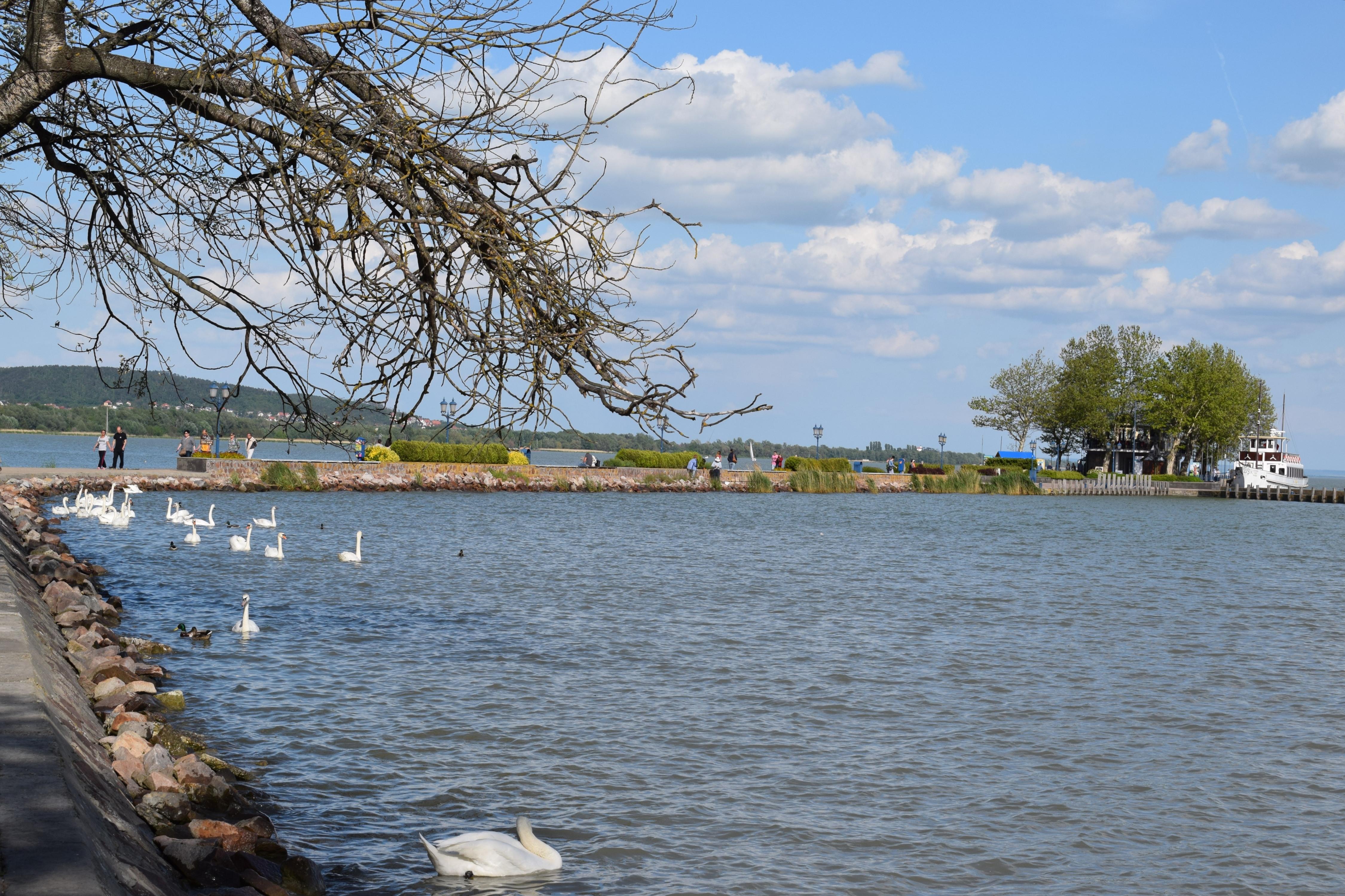 A Balaton part közelében rengeteg hattyú és kacsa úszkál, hátha megeteti őket valaki. (Mivel lehet venni madáretető-eledelt szokták is :D.)