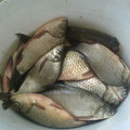 Lefujtott hal