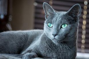 Mitől hipoallergén egy macska?