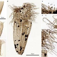 Újonnan felfedezett ősmaradvány lehet a kambriumi robbanás kulcsa?