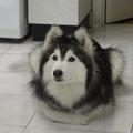 Alaszkai malamut, aki cicának hiszi magát