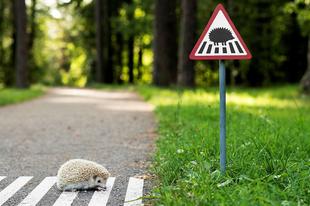 VIGYÁZZ RÁJUK! Óvatosan vezess Győrben és környékén, most indult a sünszezon!