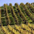 Aranyszínű szőlő miatt rendeltek el zárlatot Pécsen
