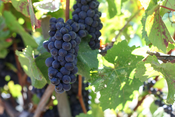 usa-california-sonoma-county-kutch-wines-sonoma-coast-pinot-noir-fruit.jpg