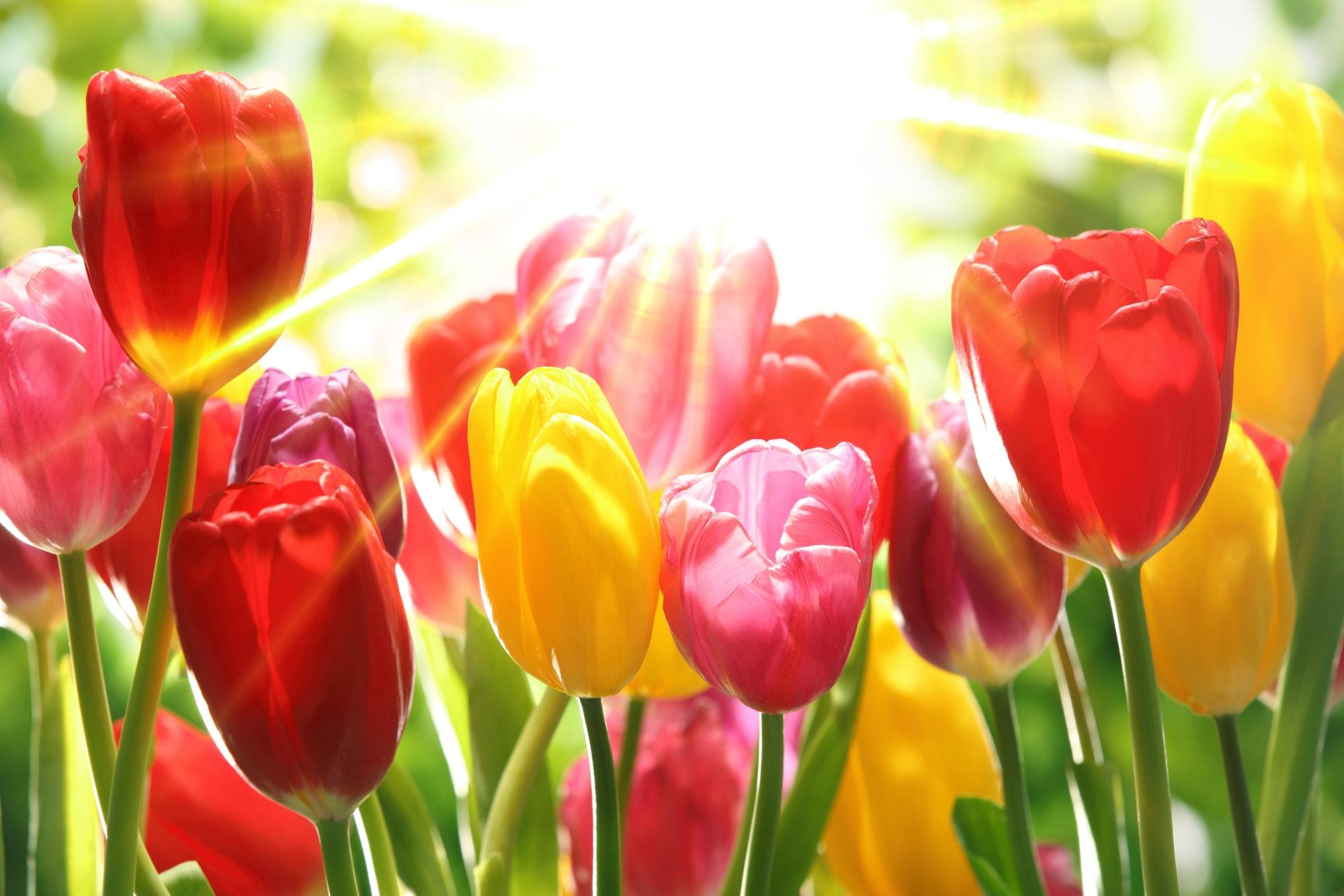 colourful-tulipa-szinpompas-tulipanok-5687091271.jpg