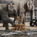 Így ünnepelt Asha, a Fővárosi Állat- és Növénykert már nem is olyan kicsi elefántja