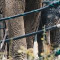 Ennyire cuki a Budapesten született újabb kiselefánt