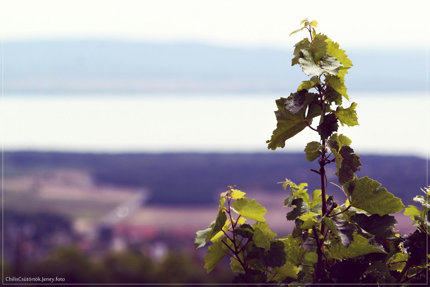 Balaton, domboldal, szőlő