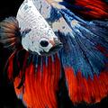 Bámulatos portrék a sziámi harcoshalakról