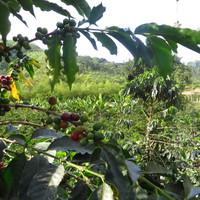 Kávét a kávéfarmról
