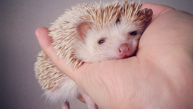 Darcy, a világ legcukibb sündisznója
