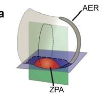 Sejtnyúlványok szállítják a hírvivő molekulákat egyik sejttől a másikig